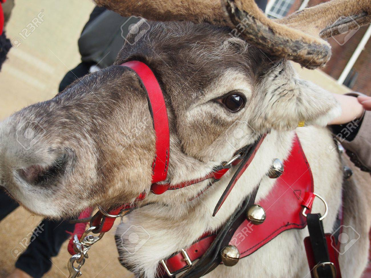 close up of a reindeer head stock photo picture and royalty free