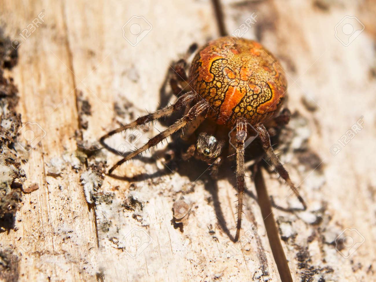 Marbled Orb-weaver, Or Garden Cross Spider, Araneus Marmoreus ...