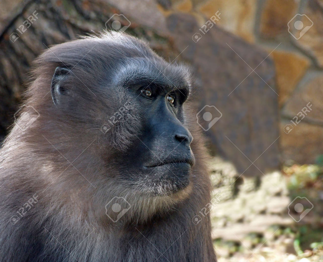 a headshot of a celebes crested black macaque or the black ape