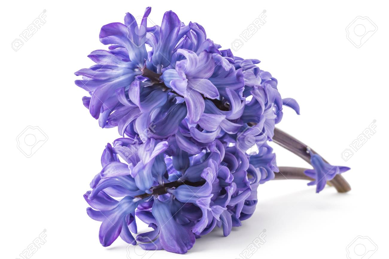 Blue Hyacinth Flower Bouquet, Hyacinthus Orientalis Isolated.. Stock ...