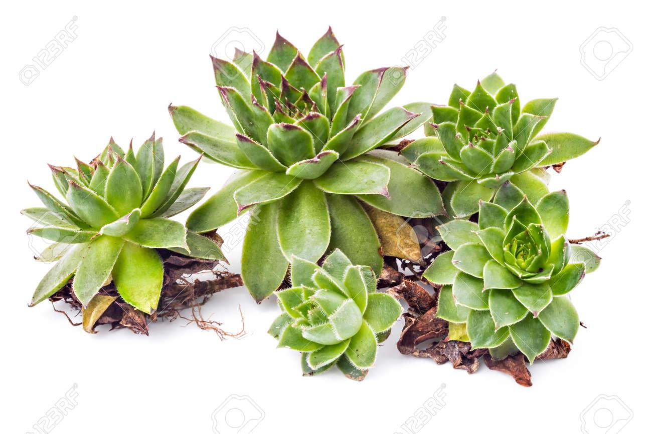 Sempervivum tectorum, Houseleek. Plant on the white background on hyssop plant, holly plant, bottling plant, hellebore plant, sage plant, scilla violacea plant, lemon verbena plant, daffodil plant, lemon balm plant, hops plant, lady's mantle plant, catmint plant, birch plant, perennial plant, yarrow plant, poppy plant, gold flower plant, thyme plant, goat's beard plant,