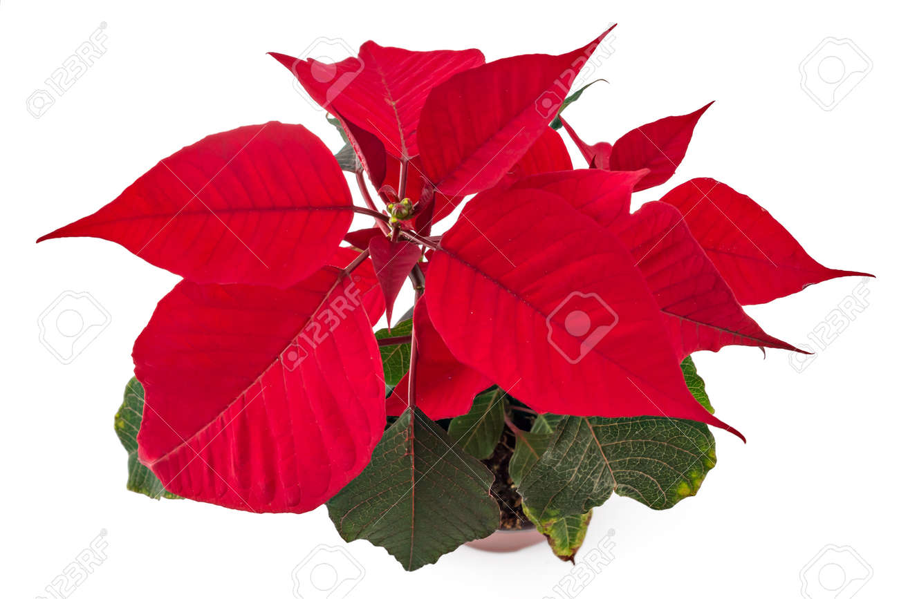 Immagini Di Fiori Natale.Poinsettia Fiore In Vaso Di Fiori Fiore Rosso Di Natale Su Priorita Bassa Bianca