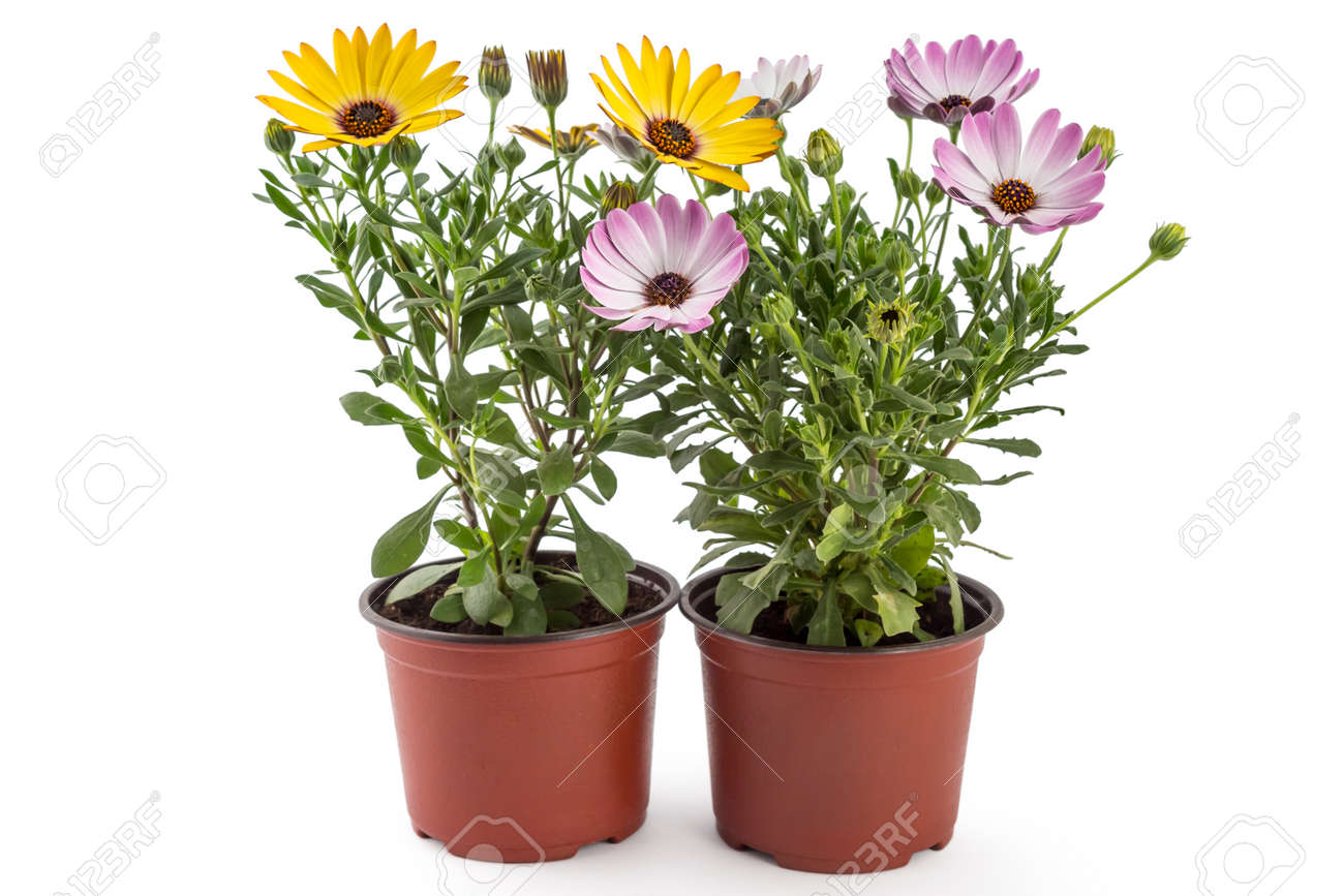 Orange and light pink young garden african daisy flowers with orange and light pink young garden african daisy flowers with leaves osteospermum symphony in izmirmasajfo