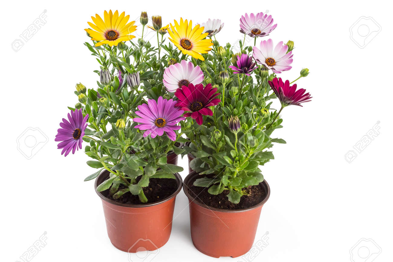 Colorful bouquet of young garden african daisy flowers with leaves colorful bouquet of young garden african daisy flowers with leaves osteospermum symphony in flowerpot izmirmasajfo
