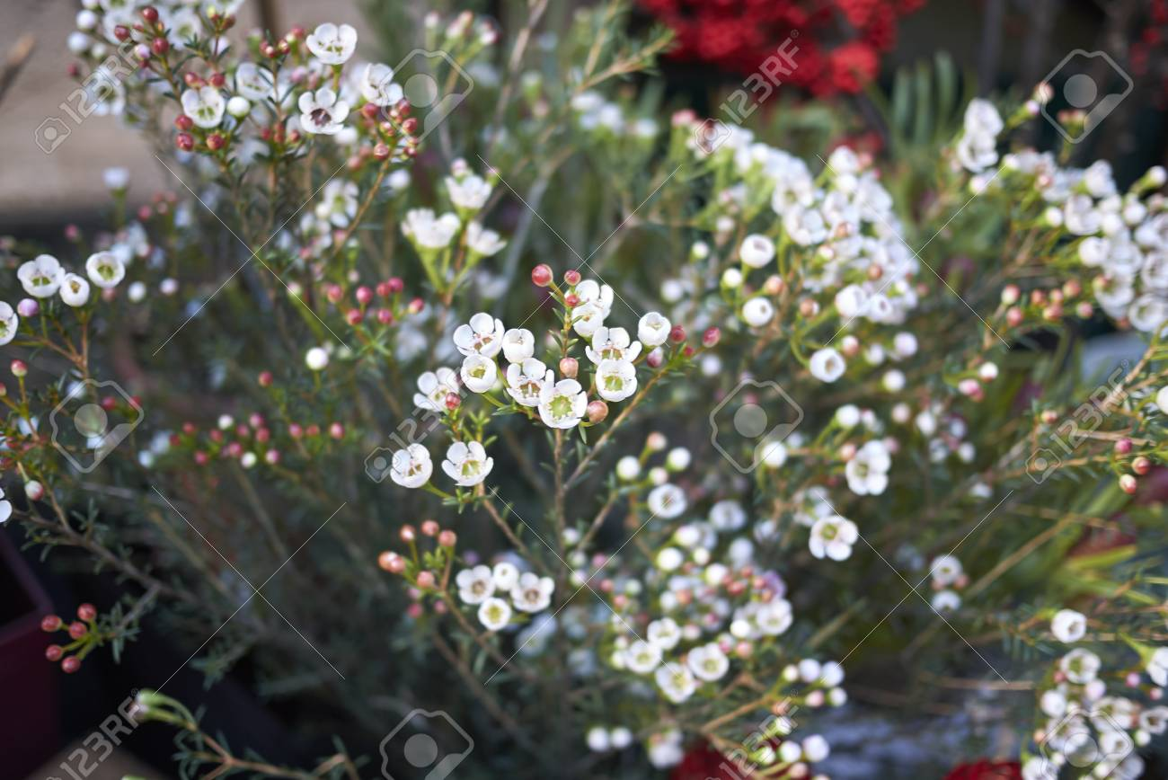 White Wax Flowers Stock Photo Picture And Royalty Free Image Image