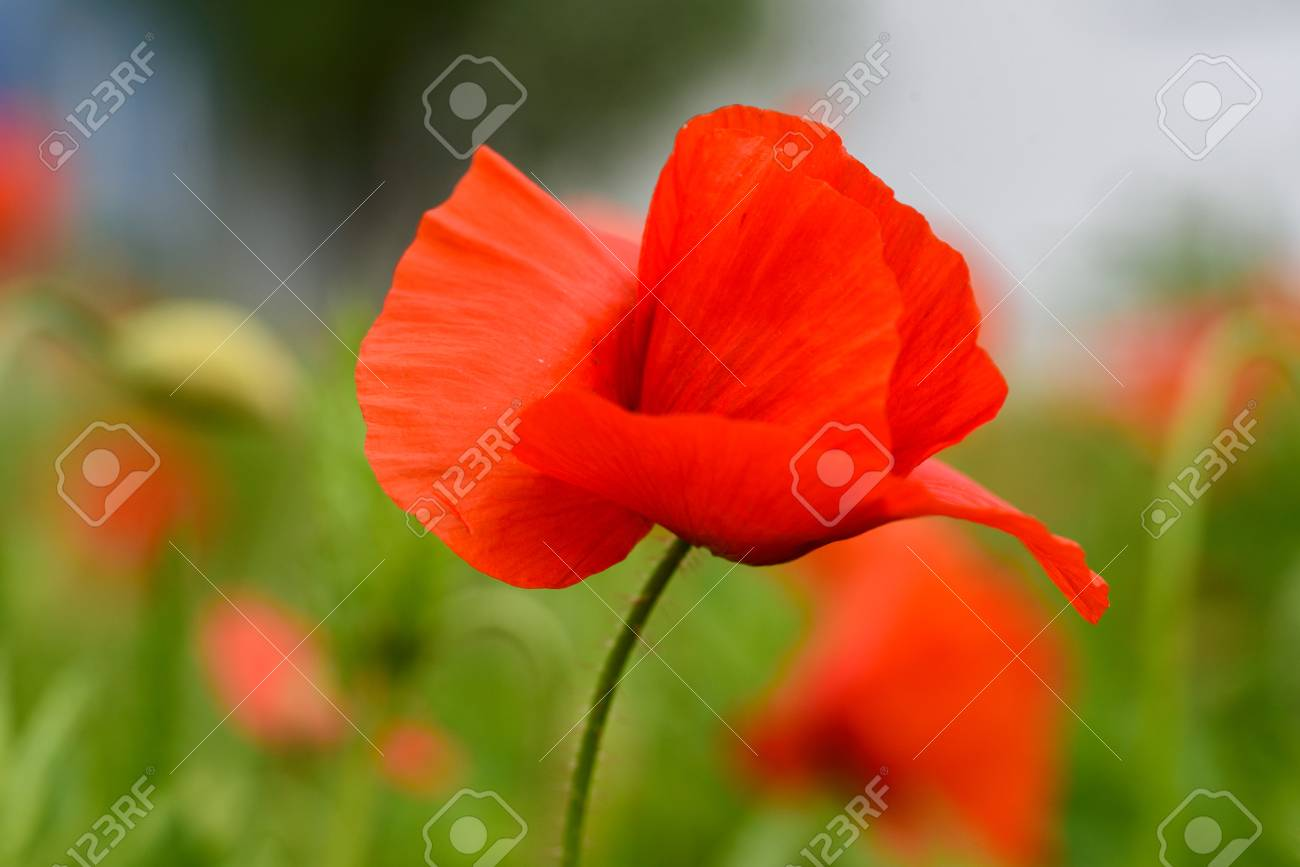 Poppy Flower In A Field With Beautiful Colors Stock Photo, Picture ...