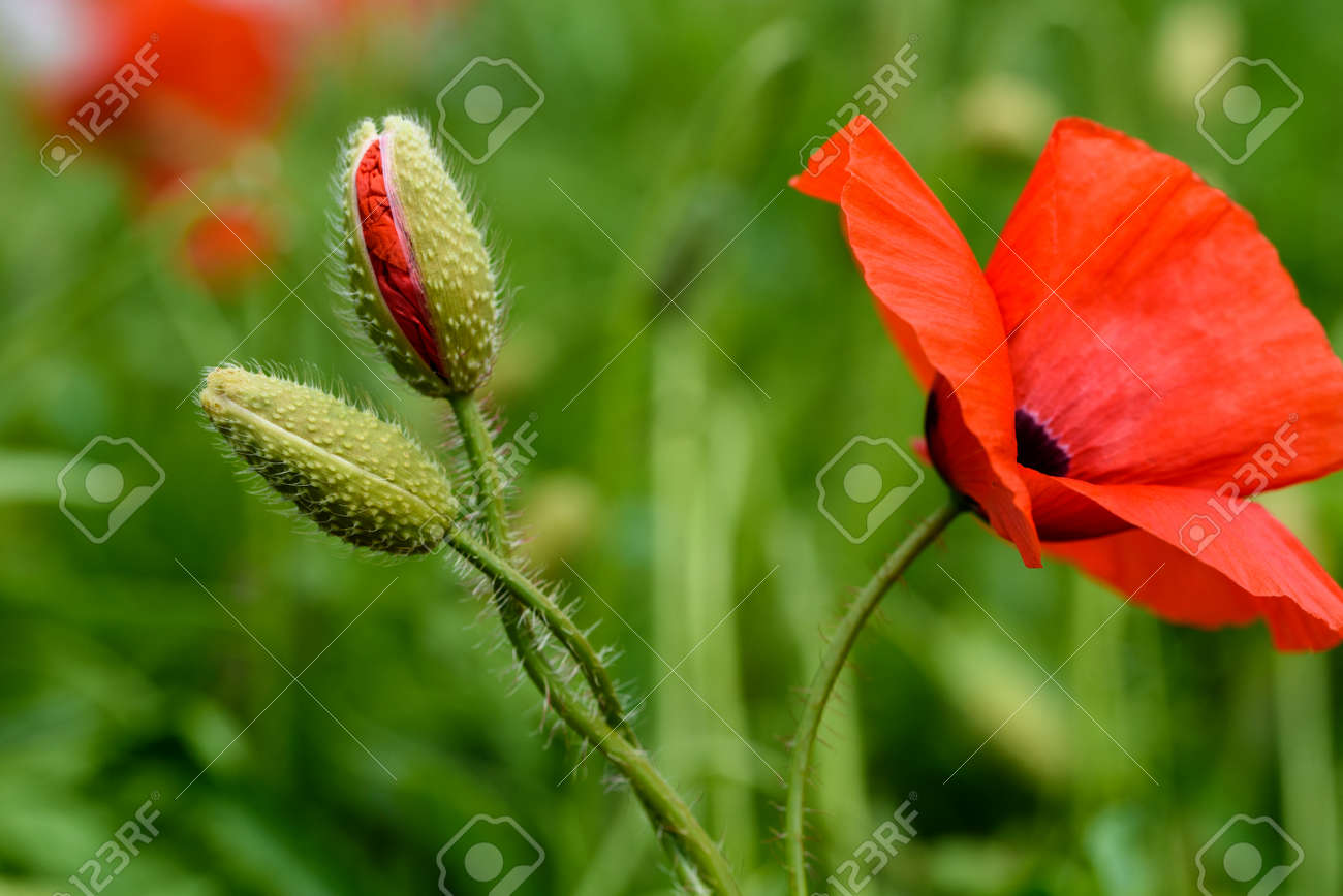 Poppy flower in a field with beautiful colors stock photo picture poppy flower in a field with beautiful colors stock photo 83587537 mightylinksfo