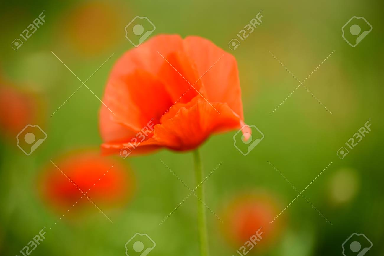 Poppy Flower In A Field With Beautiful Colors Stock Photo Picture