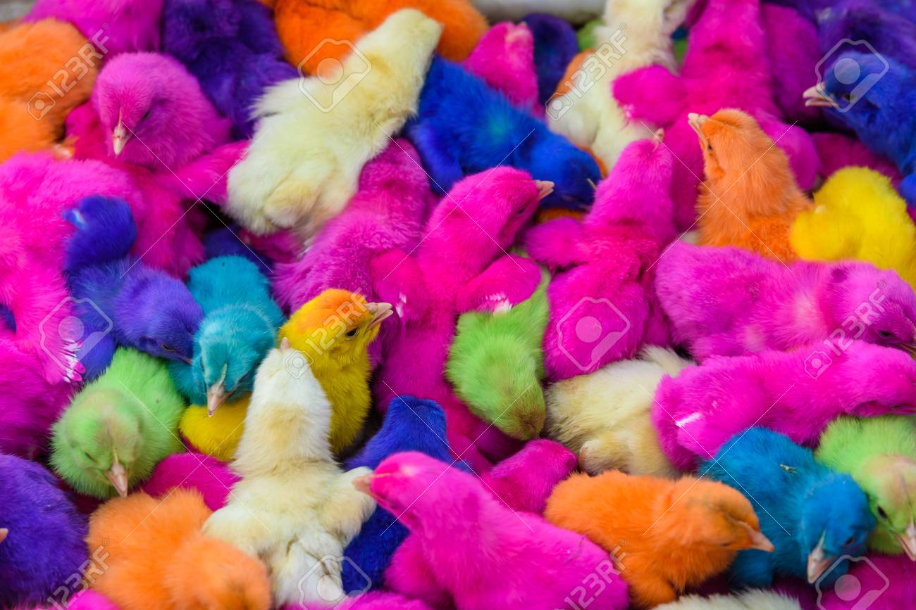 chickens colored babies a group of funny colorful easter chicks stock photo