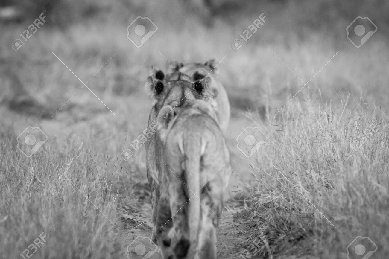 Group of lions walking away from the camera in black and white in the chobe national