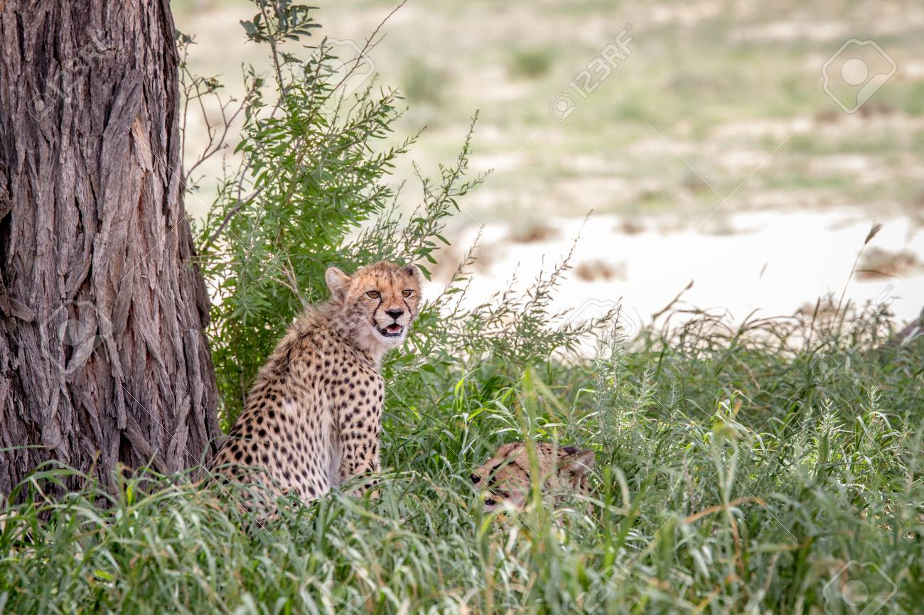Two Cheetahs In The High Grass Under A Tree South Africa