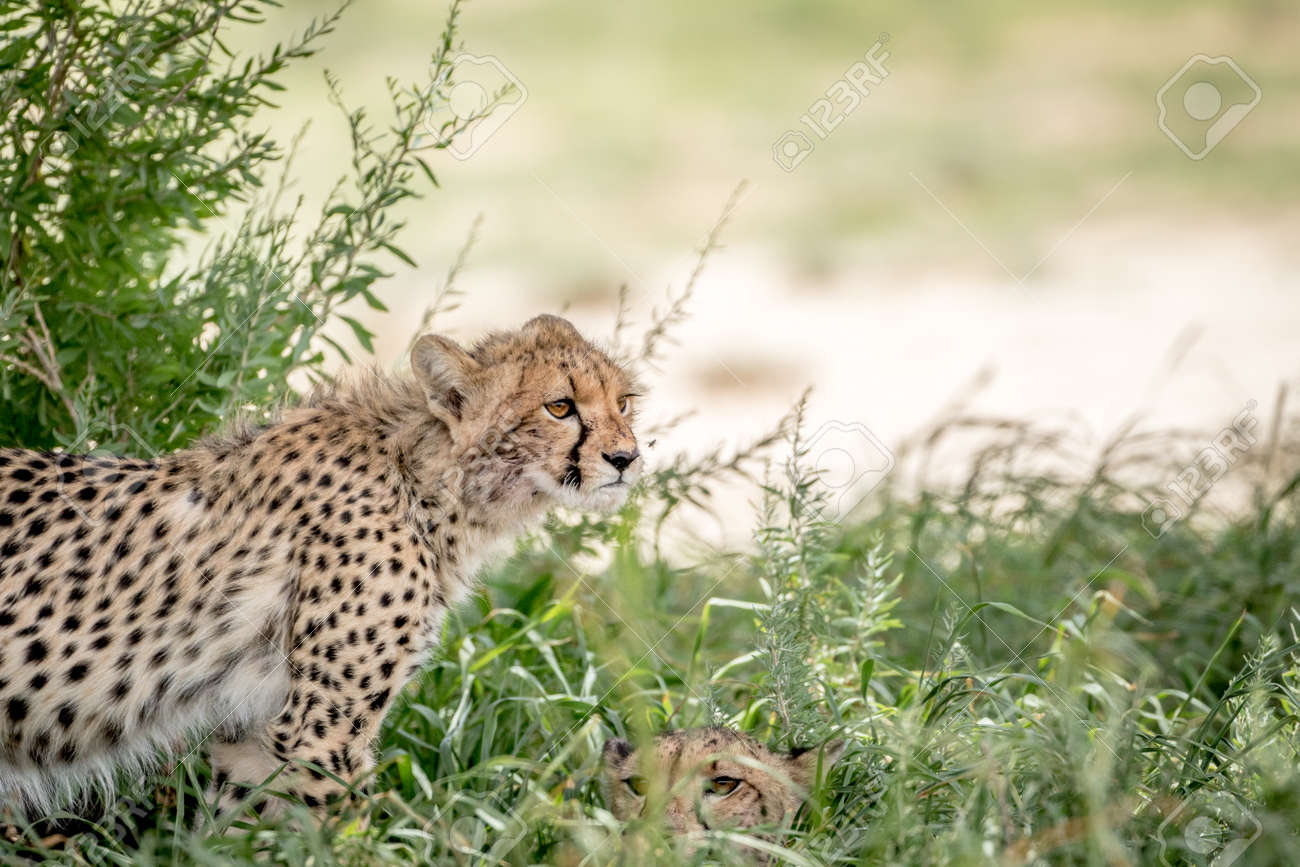 Two Cheetahs In The High Grasses South Africa