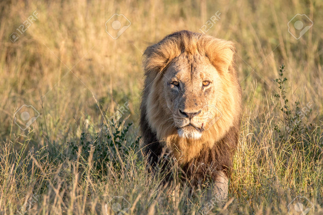 a male lion walking in the grass in the chobe national park stock