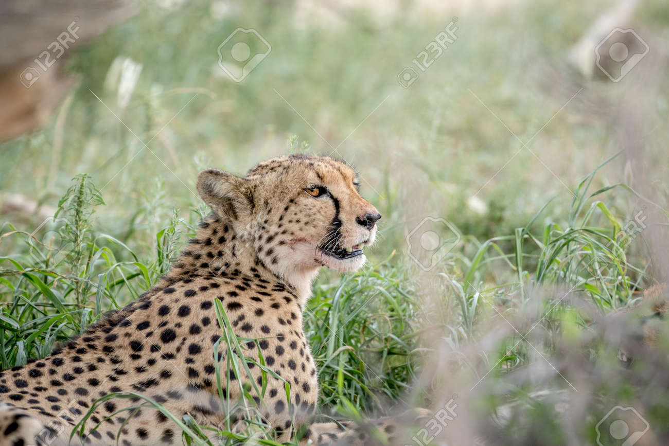 Side Profile Of A Cheetah In The High Grasses In The Kalagadi
