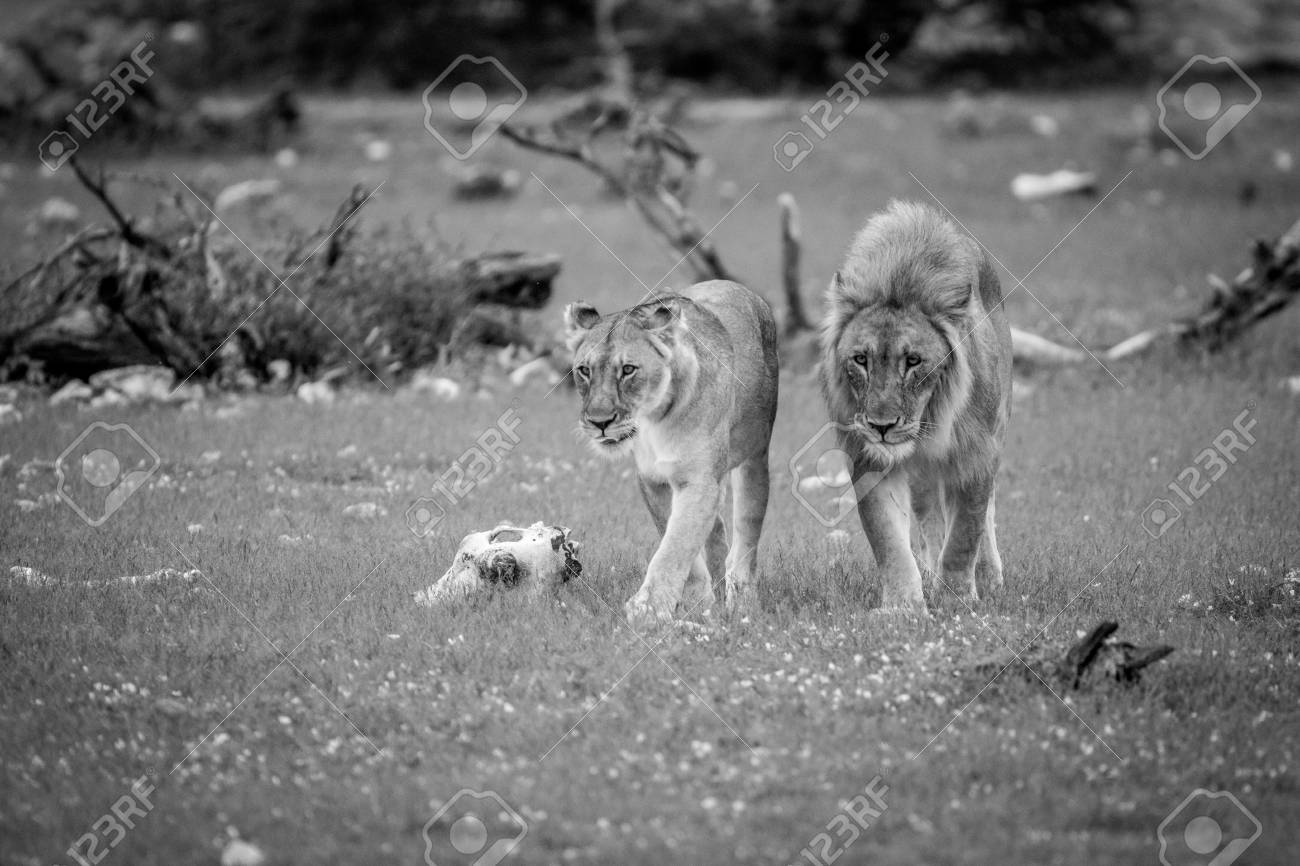 Mating couple of lions in the grass in black and white in the etosha national park