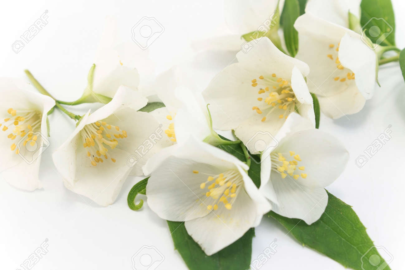 Jasmine flowers on a white background stock photo picture and jasmine flowers on a white background stock photo 78333459 izmirmasajfo