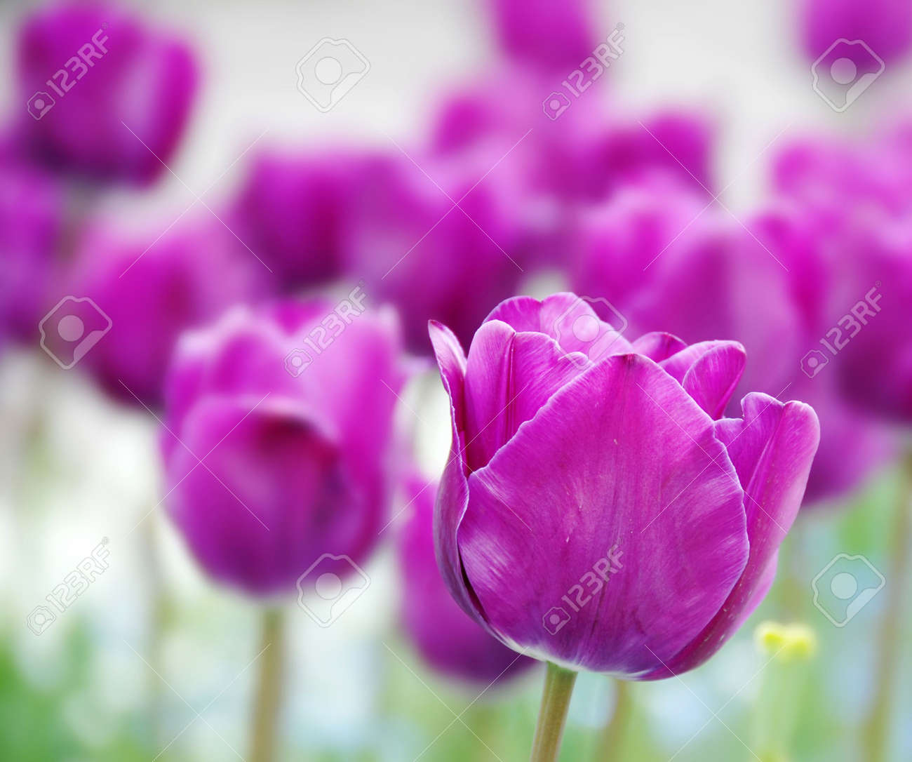 purple  tulips natural floral backgrounds outdoor Stock Photo - 4775663