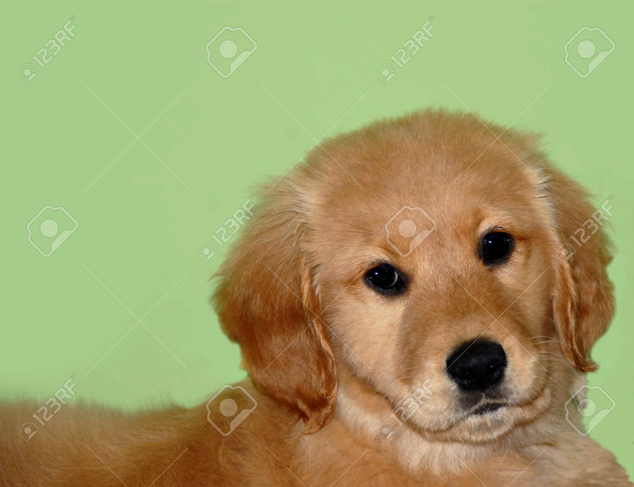 Small Golden Retriever Puppy Portrait Over Light Green Background Stock Photo Picture And Royalty Free Image Image 9259574