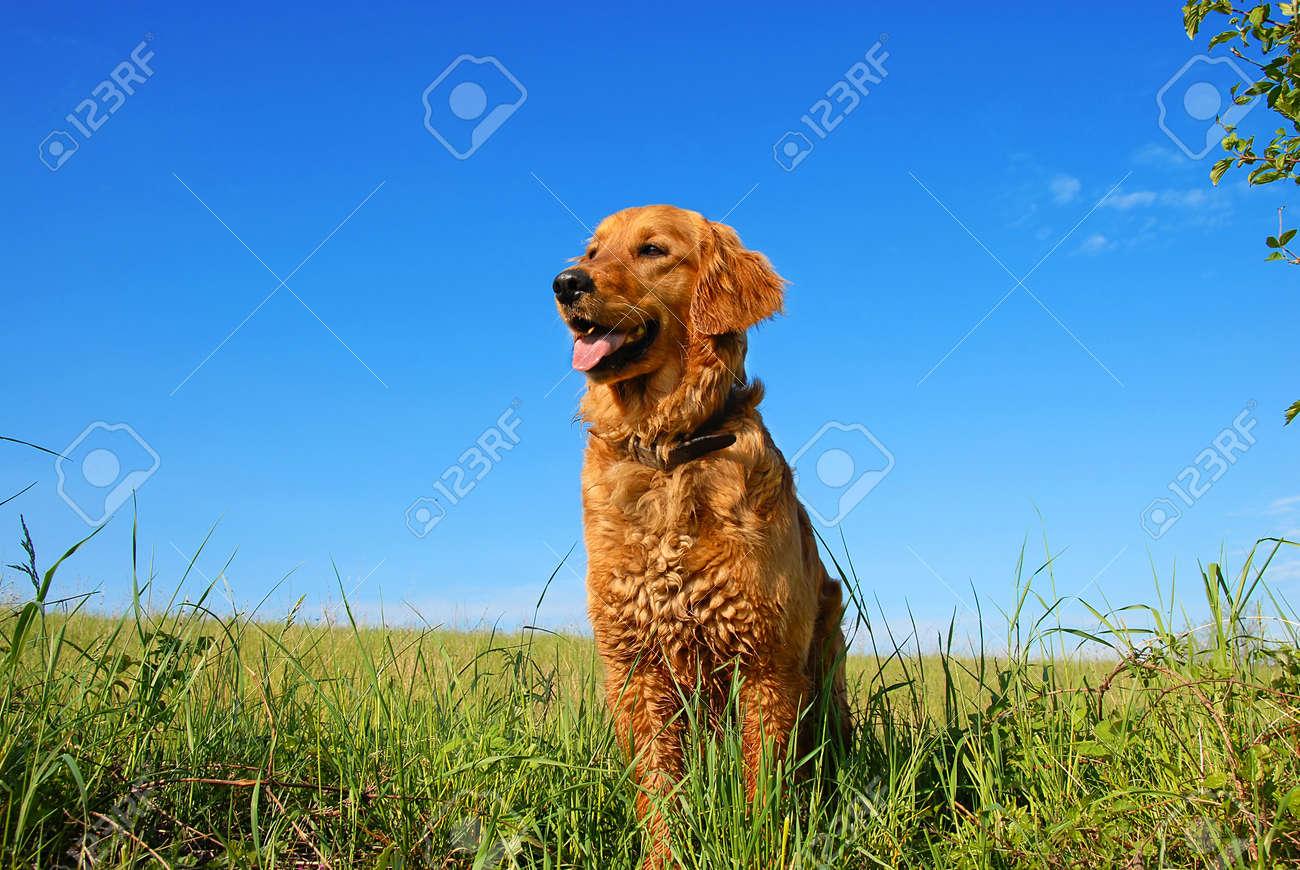 orange golden retriever dog portrait outdoors on green meadow over blue sky - 9527054