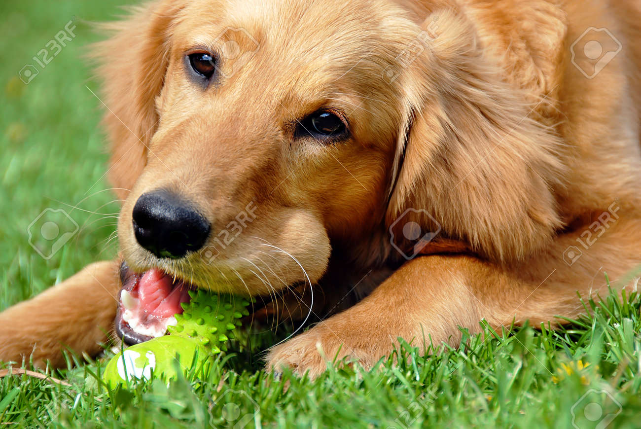 golden retriever young dog portrait with toy bone - 9703012