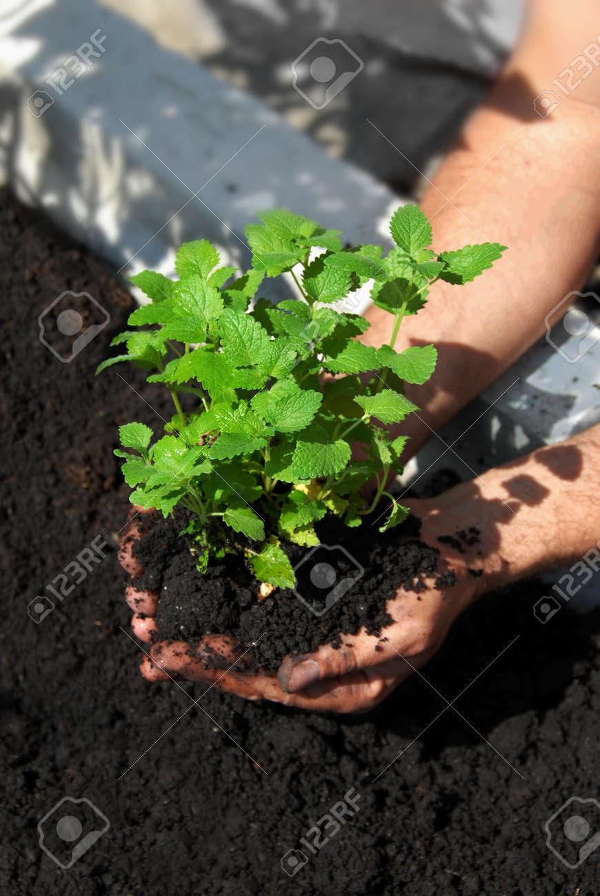 lemon balm planting in garden on black soil Stock Photo - 9805174