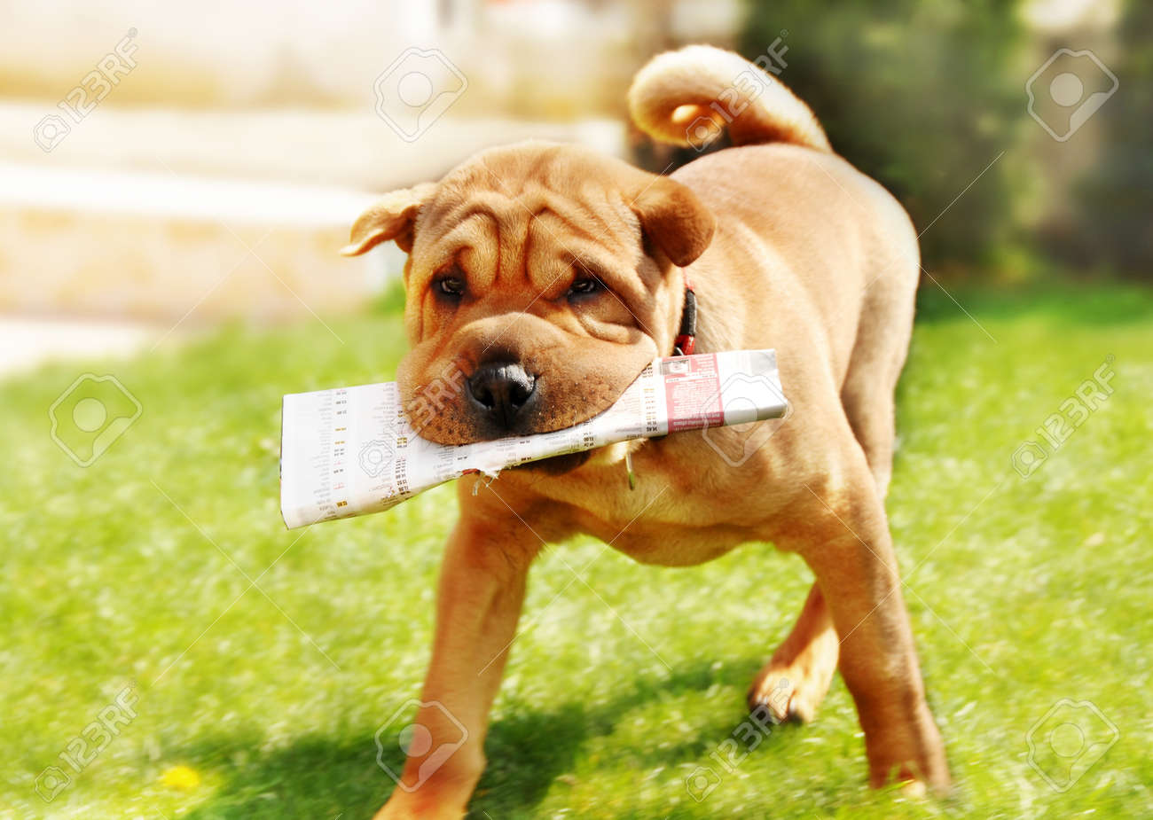 adorable shar pei dog carrying newspaper over green natural background outdoor - 10185757