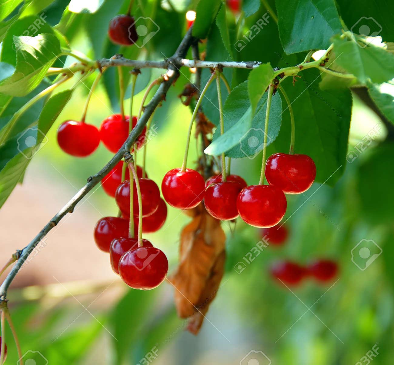 group of red cherries growing on tree closeup - 10323340