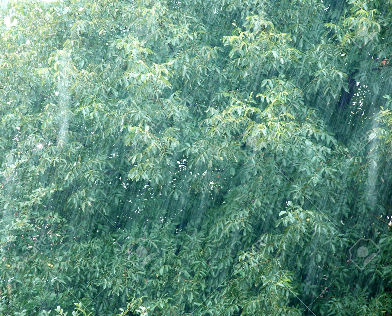 rain drops over green walnut tree leaves stock photo picture and