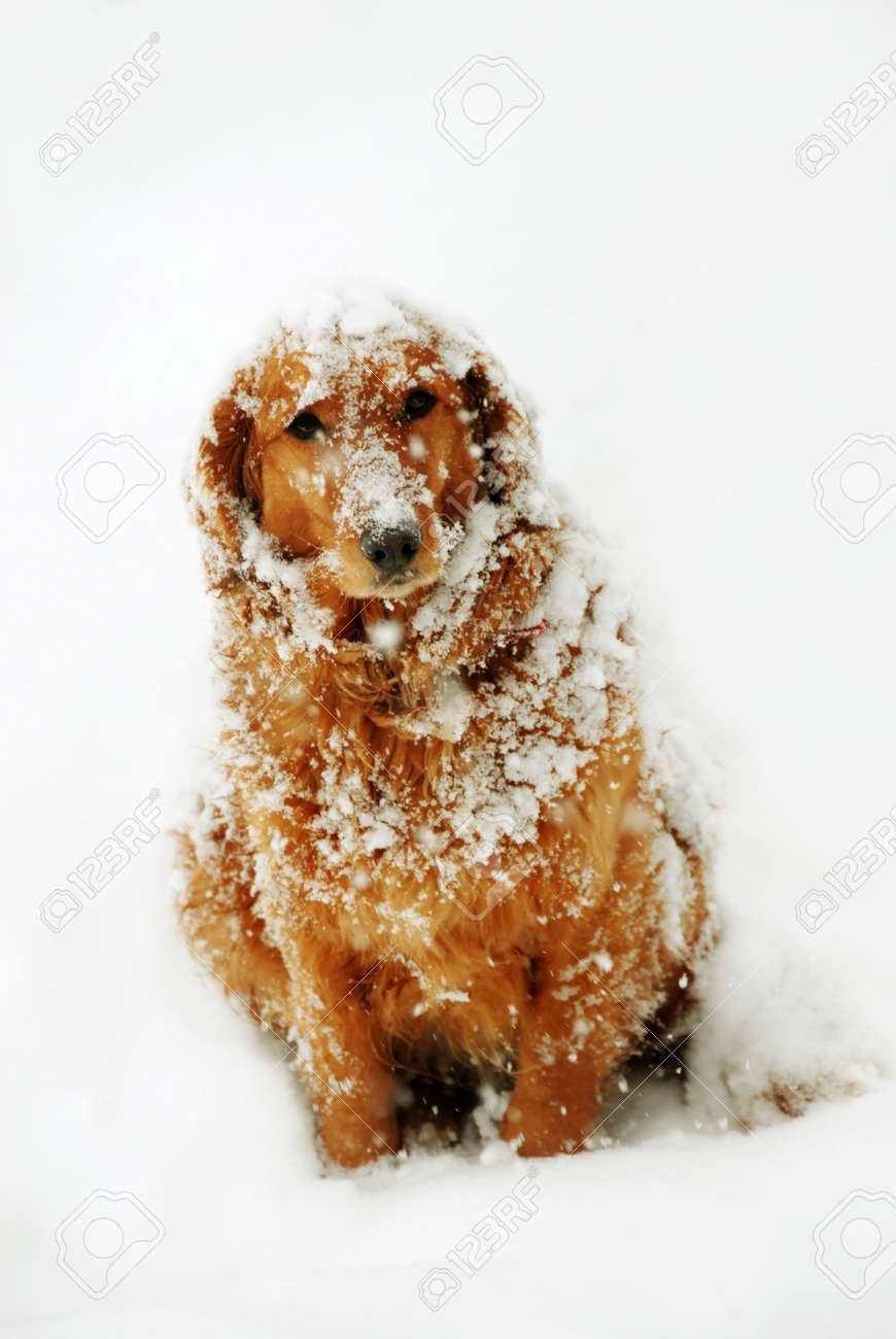 cute orange golden retriever dog with snowflakes at snow - 13706503