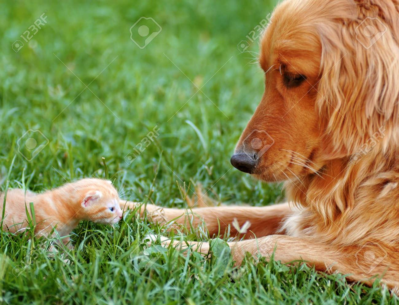 orange golden retriever dog and baby cat outdoor on green grass - 15275628