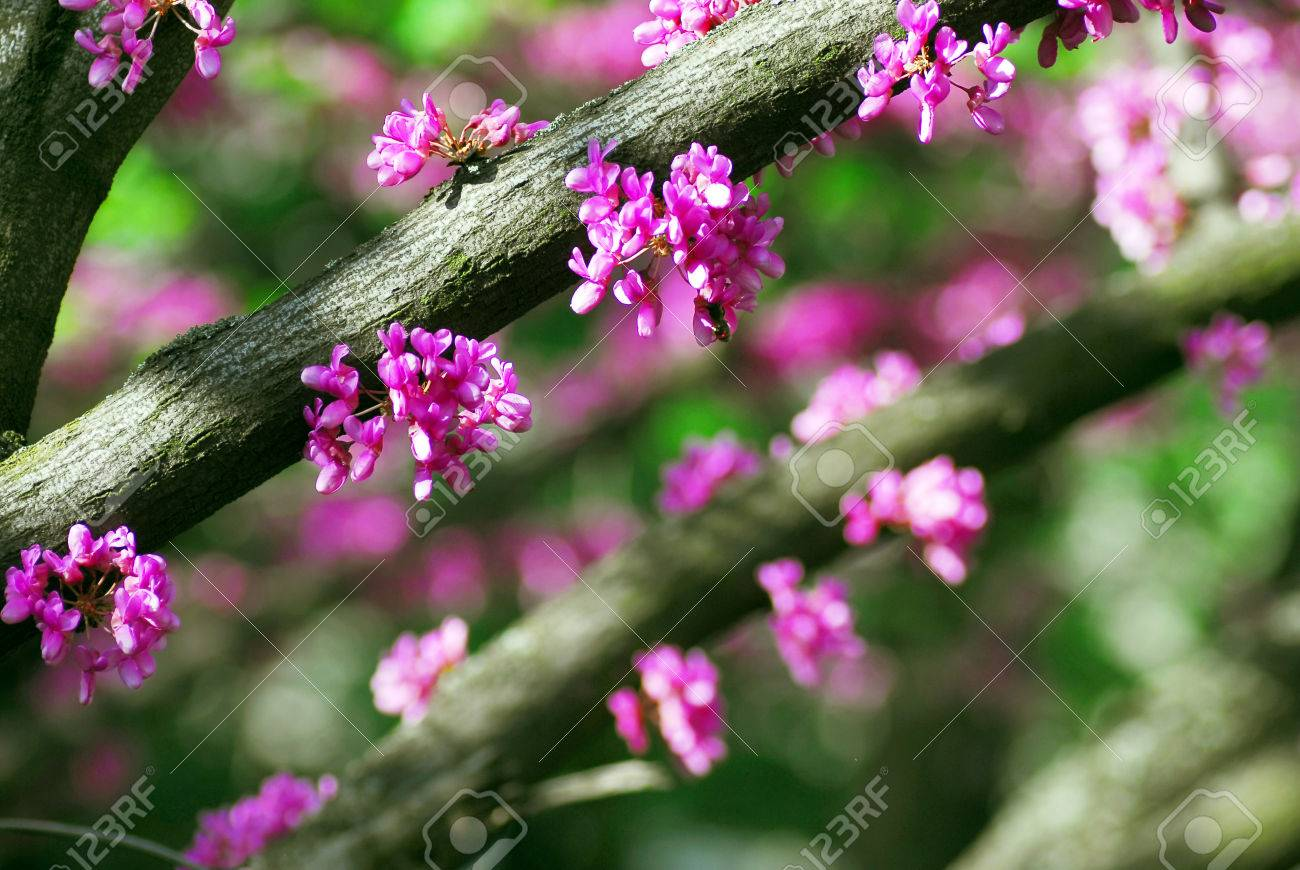 Cercis Canadensis Eastern Redbud Tree At Spring With Pink