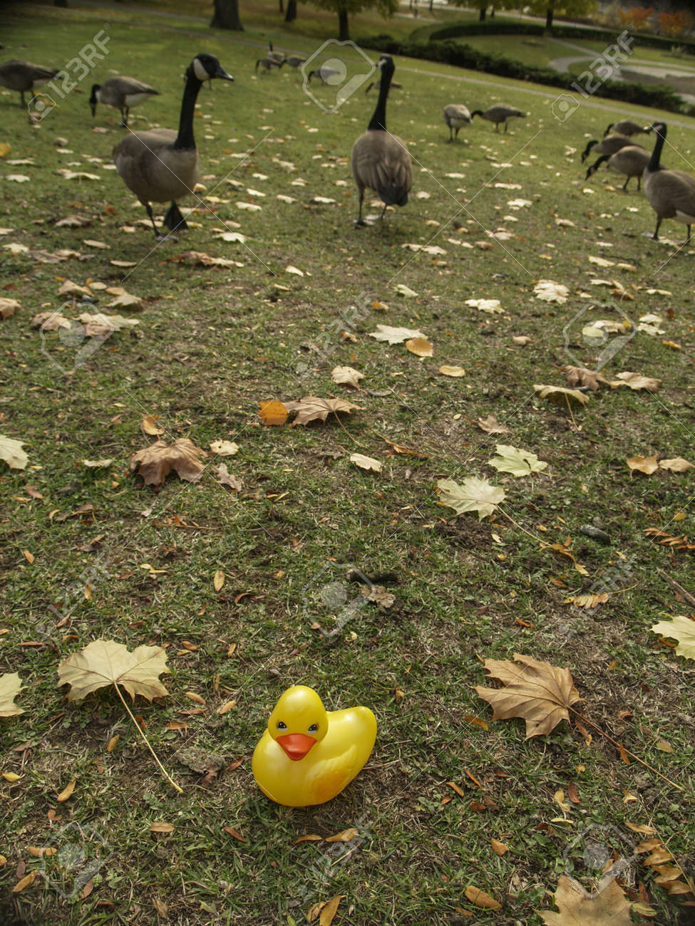 Yellow Rubber Duck Apart From Canada Geese Feeding On Grass At ...