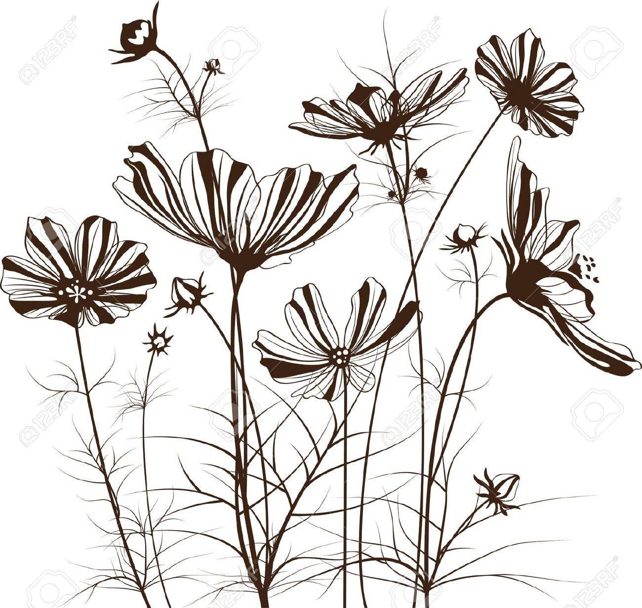 garden flowers, Cosmos bipinnatus - 15071814