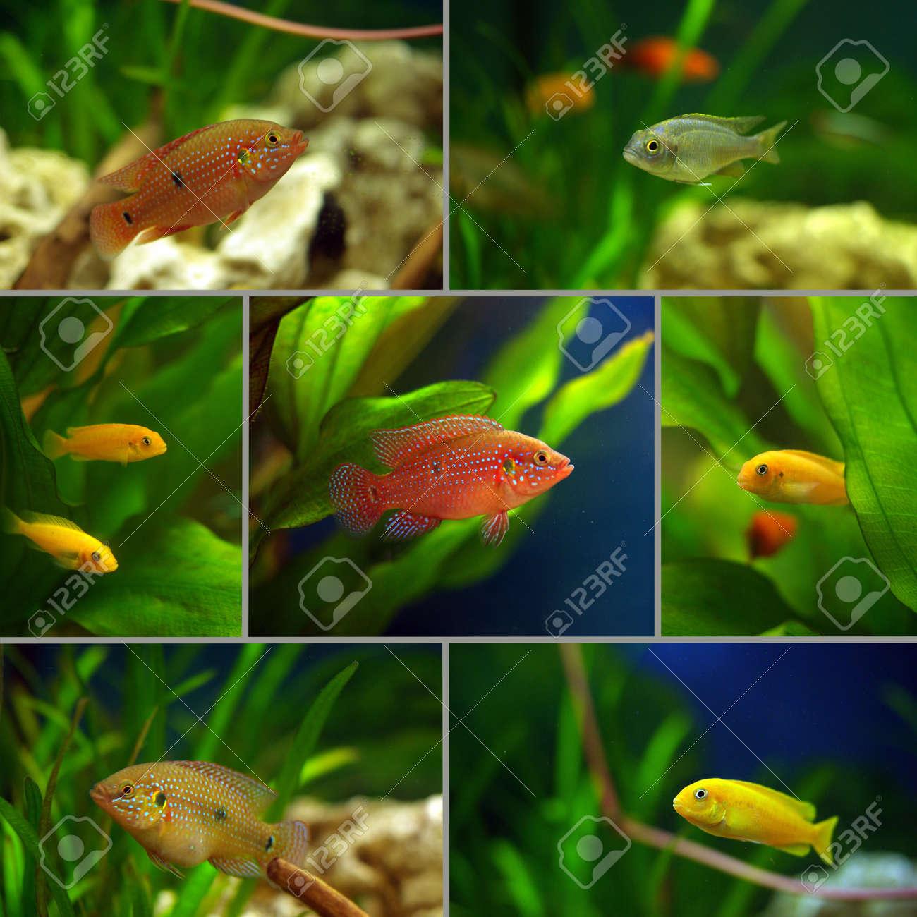 Freshwater aquarium fish cichlids - Stock Photo Collage Cichlid Aquarium Fish In The Aquarium