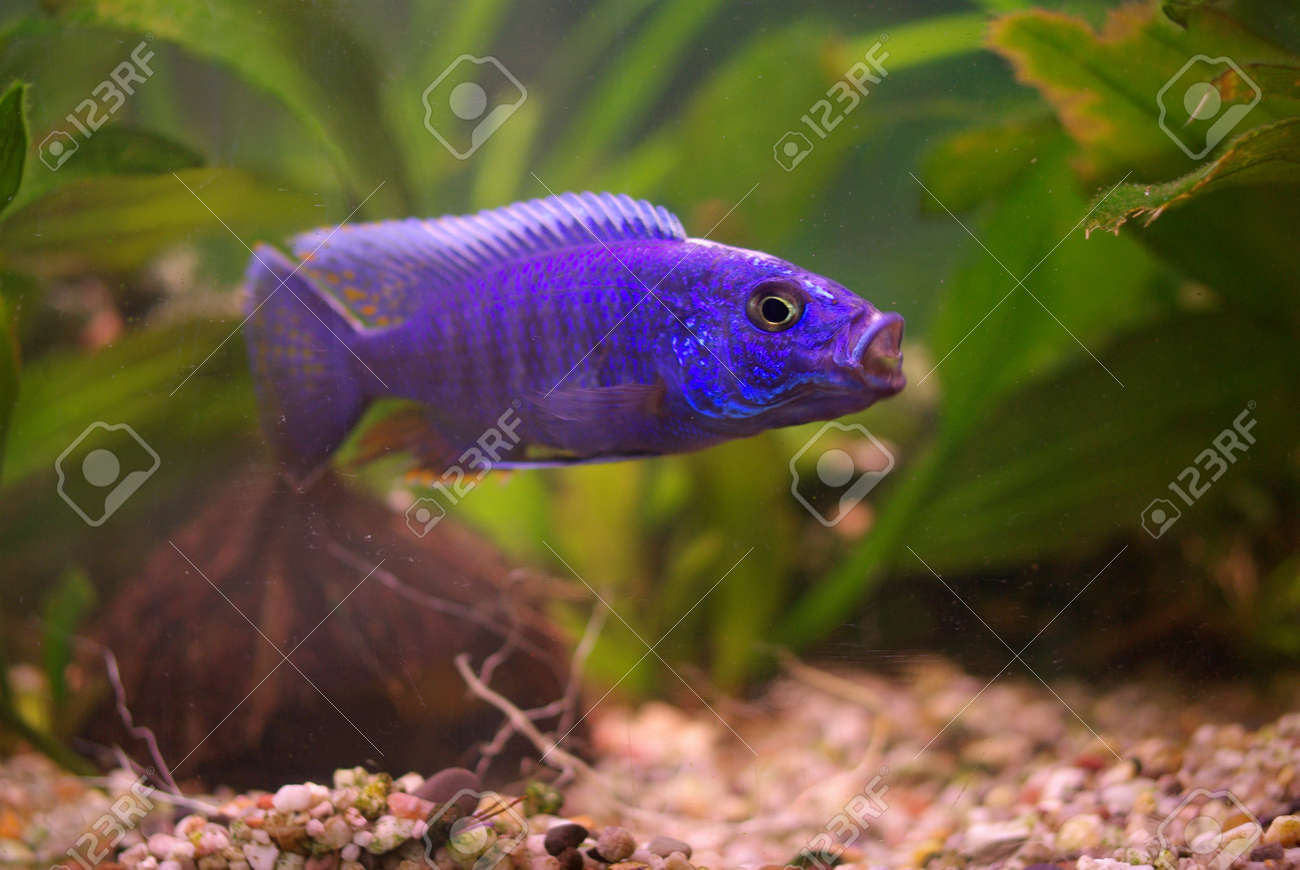 Cichlid in the aquarium on a green background Stock Photo - 16776651