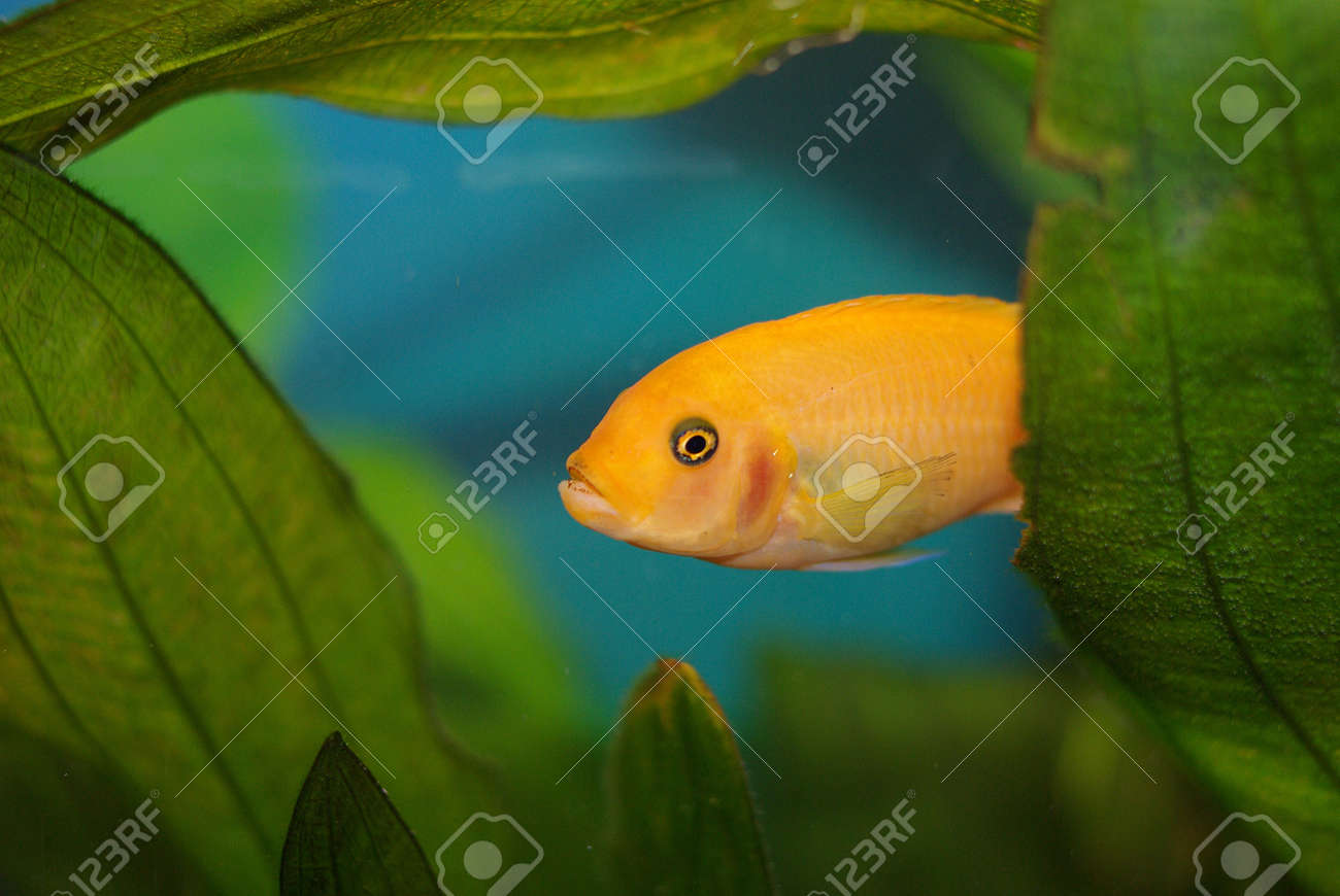 Cichlid in the aquarium on a green background Stock Photo - 16777580
