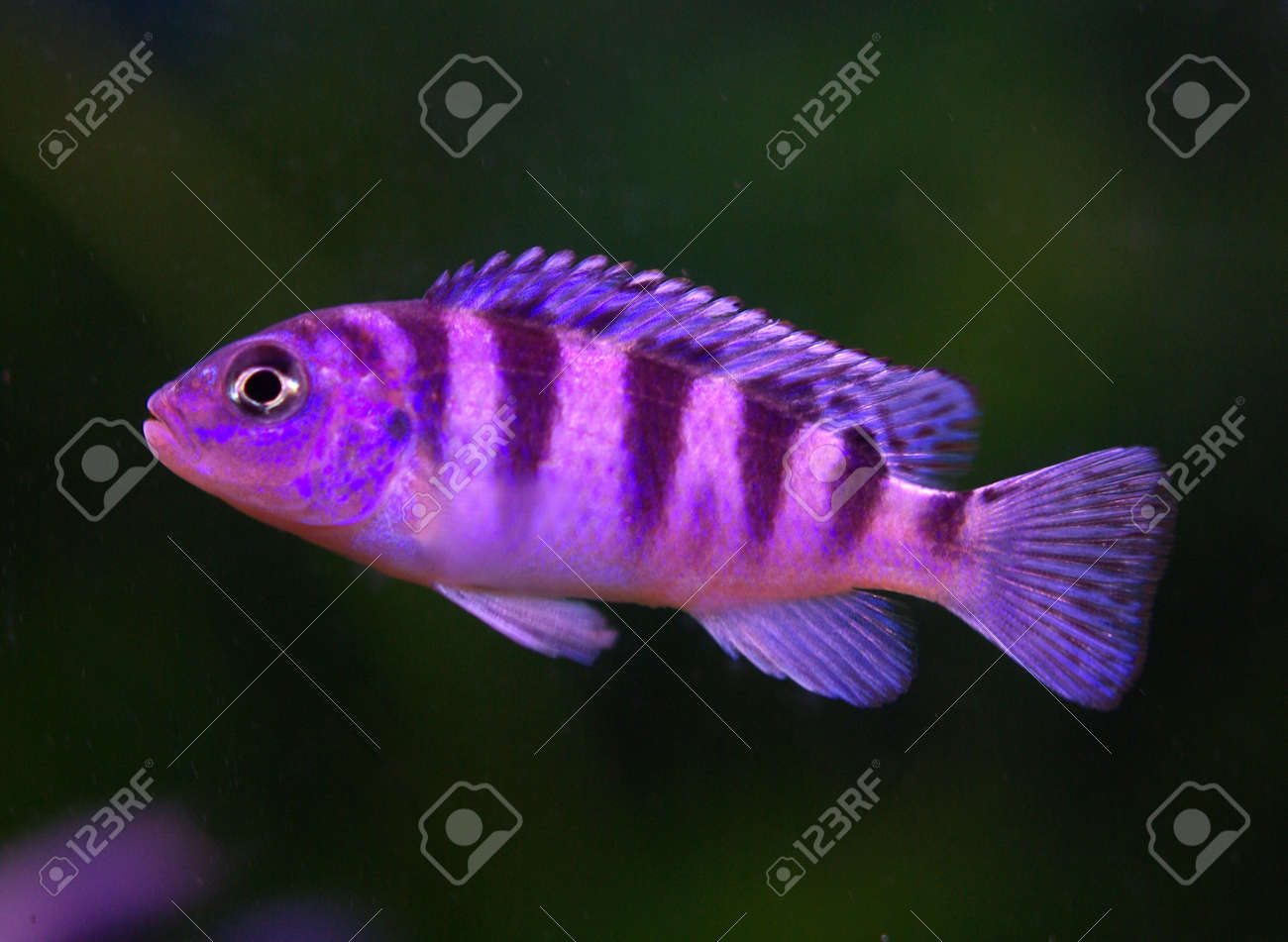 Cichlid in the aquarium on a background Stock Photo - 16776585