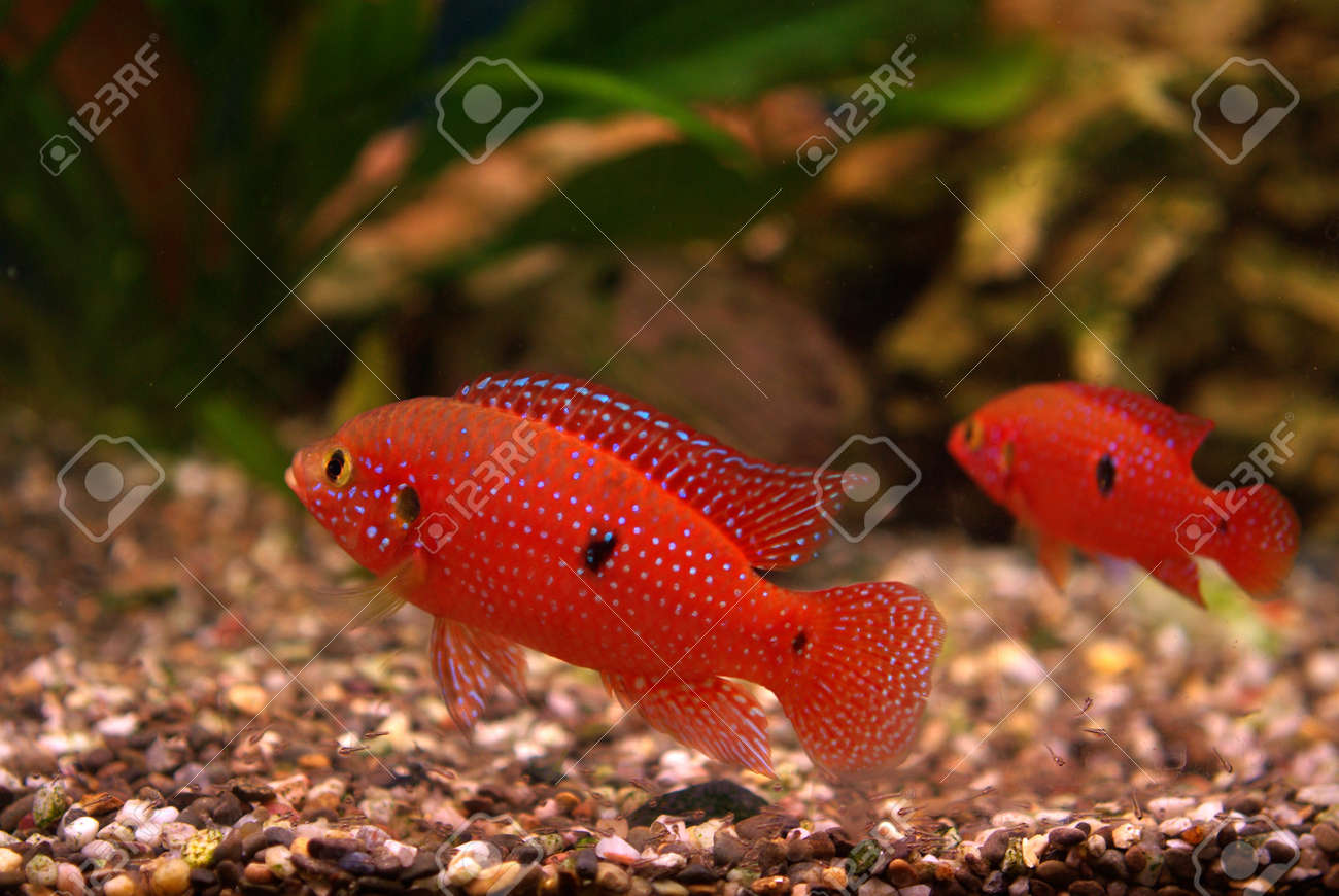 Cichlid in the aquarium on a green background Stock Photo - 16776733