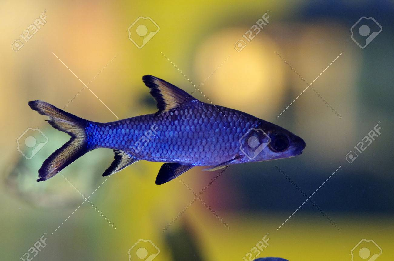 Bala Shark Stock Photo Picture And Royalty Free Image Image 46914038