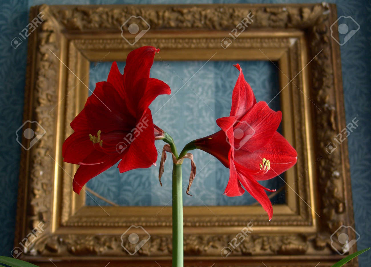 Red flower on a background of an old frame Stock Photo - 2980992