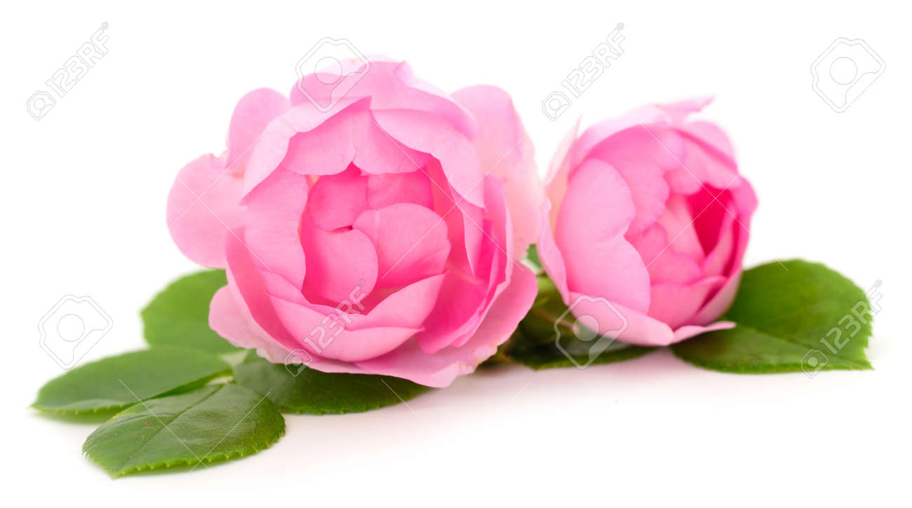 Pink rose flower on branch and leaf isolated on white background. - 125325553