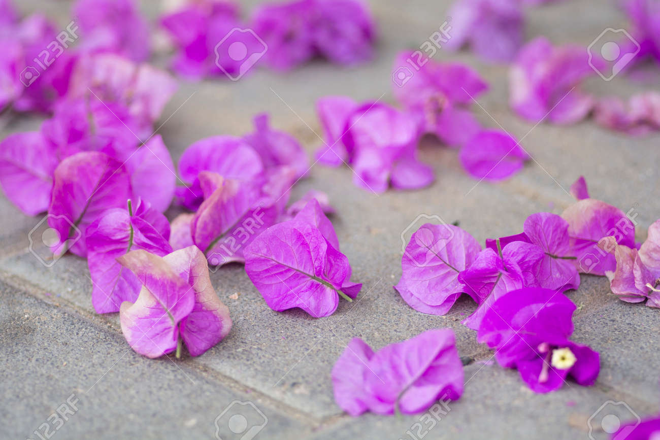 Beautiful fallen pink flowers of Bougainvillea, covering the ground - 149396800