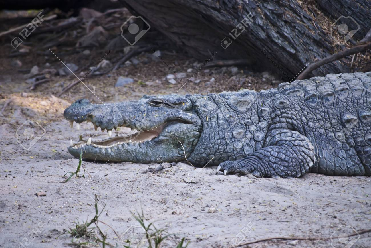 Crocodile Stock Photo - 9190113