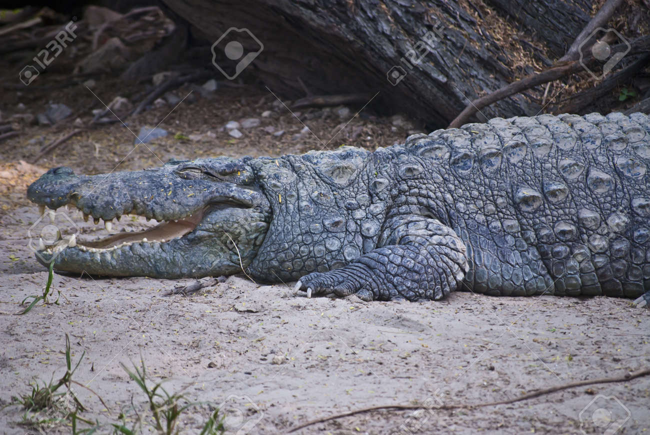 Crocodile Stock Photo - 9190112