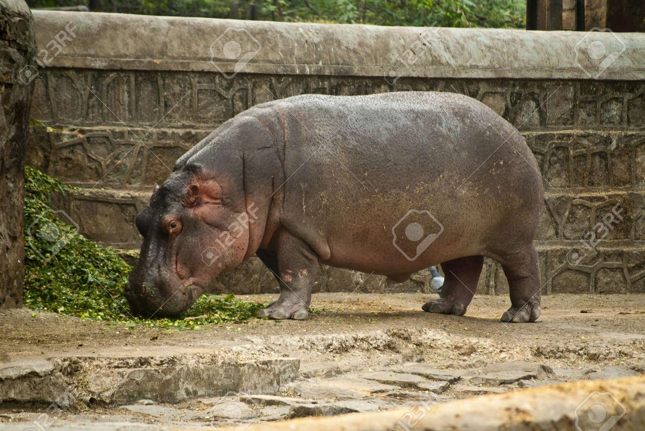 Hippopotamus Stock Photo - 9190110