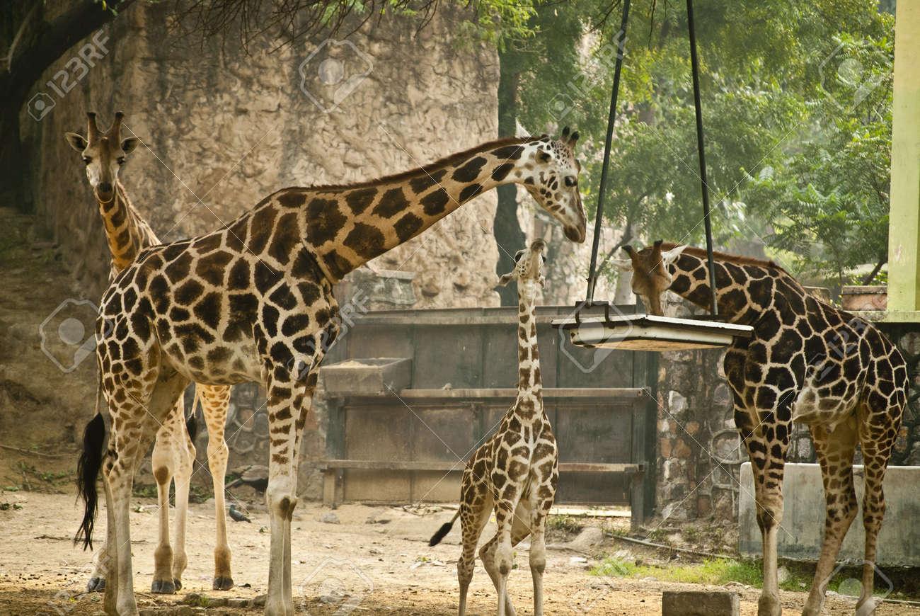 Giraffe Stock Photo - 9190114