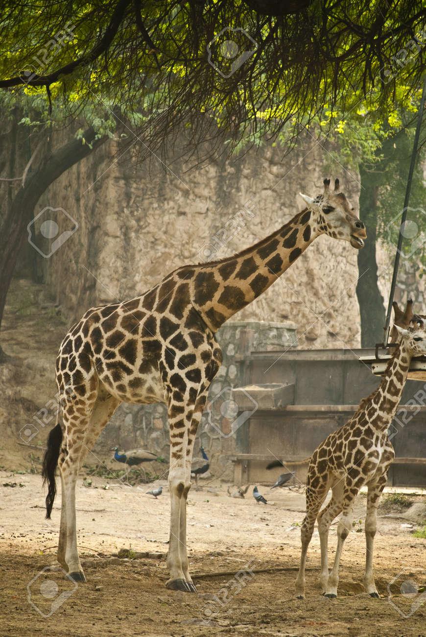Giraffe Stock Photo - 9190116