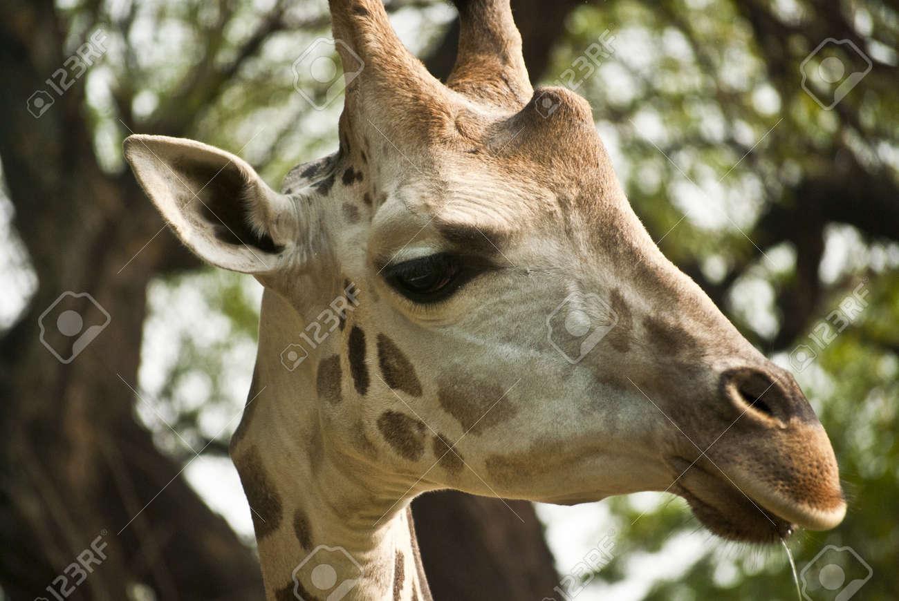 Giraffe Stock Photo - 9190150