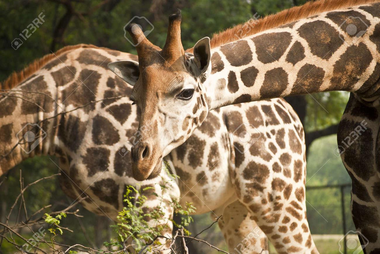 Giraffe Stock Photo - 9190143