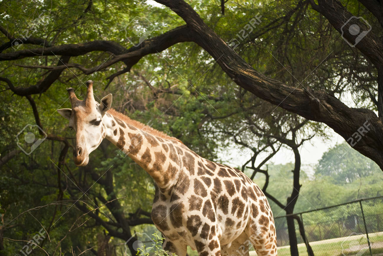 Giraffe Stock Photo - 9190127